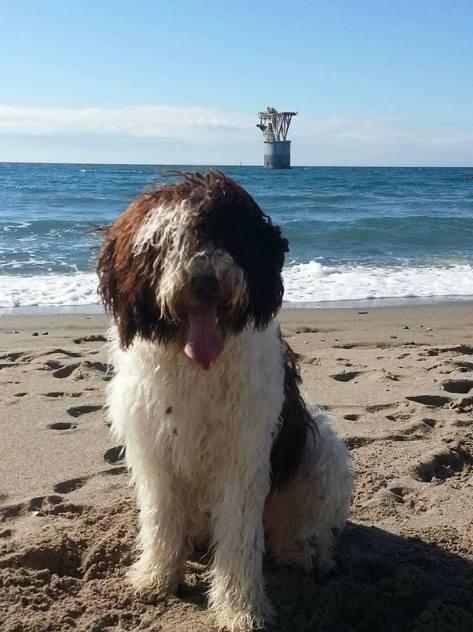 armada-espanola-perro-agua-andaluz-1